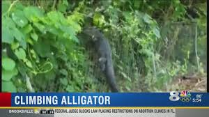 Gator Climbs Fence At Florida Golf Course Youtube