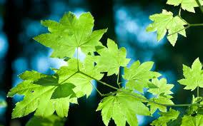 طبيعة الأشجار اوراق اشجار أوراق الشجر الصيف غابة خلفيات سطح