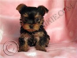 bichon frise puppies yorkshire terrier