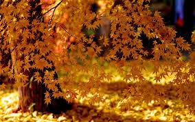 autumn yellow leaves fall foliage