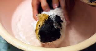 how to cut your guinea pig s nails and