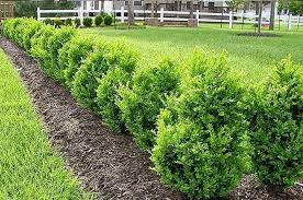 Green Mountain Boxwood Plantingtree