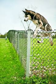 Why And How Dogs Escape Fences Whole Dog Journal