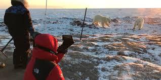 Breathtaking Polar Bear Cub Encounter At Sunrise Arctic Kingdom