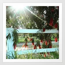 Red Bottlebrush Flowers Over A Fence Art Print By Heathergoldsmith Society6