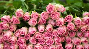 pink rose flowers free best hd