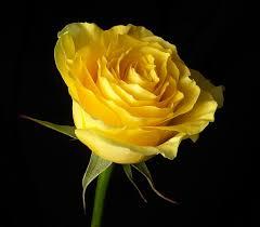 صور ورد متحركه اجمل الورود بالصور المتحركه احساس ناعم