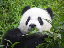 صور باندا 2020 خلفيات دب الباندا الزعلان والكيوت يلا صور