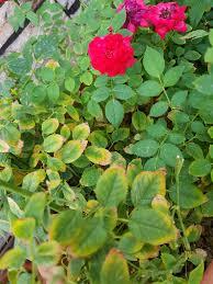 الورد الجوري القزمي