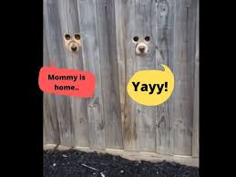 Dog Sized Holes In Fence Peek A Pooch Pet Owner Makes Dog Sized Holes In Fence For Her Labradors To Watch Passersby Watch Trending Viral News