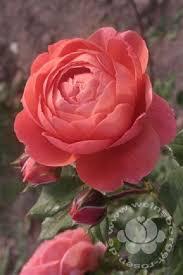 Rosa 'Summer Song' STR VII :: Dünger/Pflanzenschutz ::
