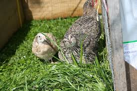 a beginner s guide to anese quails
