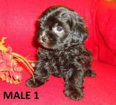 toy poodle dog puppies for