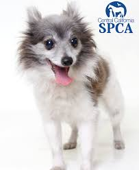 Betty is an 8 year old, female, white and grey, Papillon Blend | Central  California SPCA, Fresno, CA