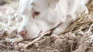 garlic in homemade dog food recipes