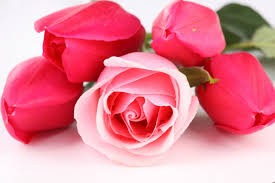 free amazing rose flower images on your pc