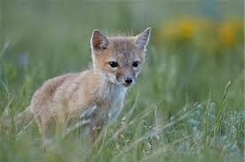 baby fox to color stock photos page 1