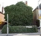 Kill Ivy On Brickwork Walls Fencing And Gardens Flowerpotman Landscape Gardener