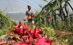 靖州:火龙果种植助农增收-湖南频道