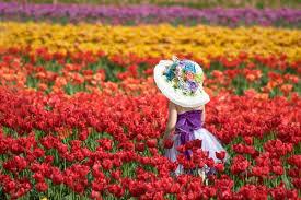 زهرة التوليب الأنواع والخصائص وظروف الزراعة بالصور روزبيديا