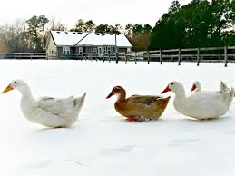 keeping ducks warm in cool weather