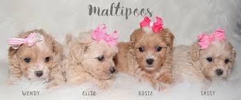 maltese yorkie toy poodle