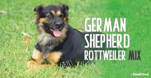 rottweiler german shepherd mix dog
