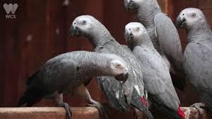 this por parrot talks like us