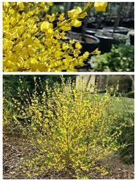 Planting Forsythia When And How To Plant A Forsythia Shrub