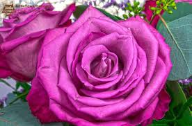 the meaning of purple roses most
