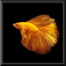 common signs of illness in betta fish