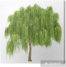 Weeping Willow Tree Isolated Canvas Print • Pixers® • We live to change