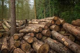 Cea mai mare tăiere ilegală de arbori din România: 100.000 de ...