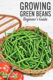 growing green beans how to plant green