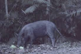 a feral pig in the daintree rainforest