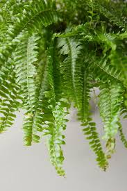 Boston Fern, Gray Urn in 2020 | Boston ferns, Plant leaves, Ferns