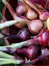 onions red grow guide planting