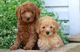 mini poodle puppies puppy