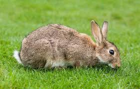 ماهو اسم صوت الأرنب المرسال