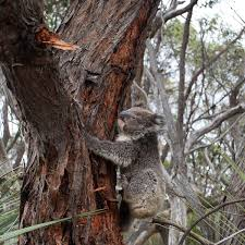 Bush And Koalas Found To Be Threatened By Gratuitous Nsw Land Clearing Plan Logging And Land Clearing The Guardian