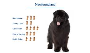 Newfoundland Dog Breed… Everything ...