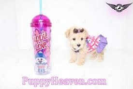 sophia teacup poodle puppy in los
