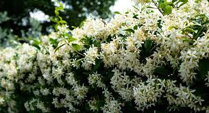 How To Grow Star Jasmine As A Hedge Can You Grow A Hedge Of Star Jasmine
