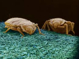 diy bedbug trap easy effective