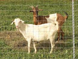 Sheep Fencing And Goat Fencing Sheep Fence Cattle Panels Goat Fence