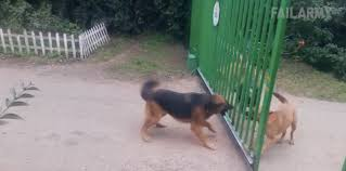 Dogs Bark Until Gate Disappears The Bark