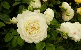 pure and beautiful white rose varieties