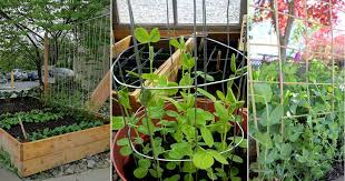 12 Functional Diy Pea Trellis Ideas