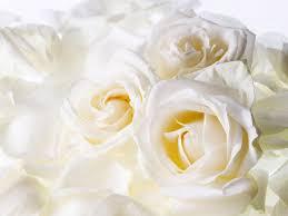 كلام عن الورد الابيض لغه الورود هى لغه العشاق افخم فخمه