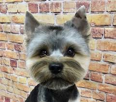 87 captivating haircuts for your yorkie